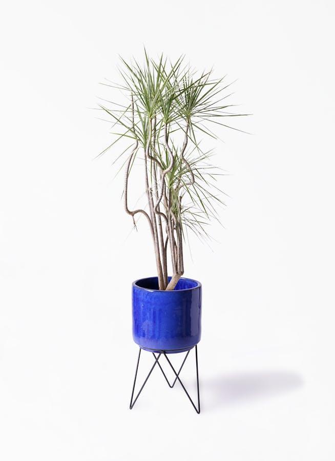 観葉植物 コンシンネ ホワイポリー 8号 曲り ビトロ エンデカ ブルー アイアンポットスタンド ブラック 付き