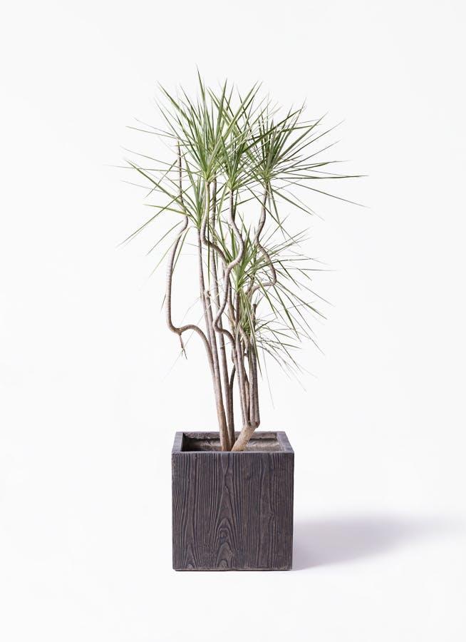 観葉植物 コンシンネ ホワイポリー 8号 曲り ベータ キューブプランター ウッド 茶 付き