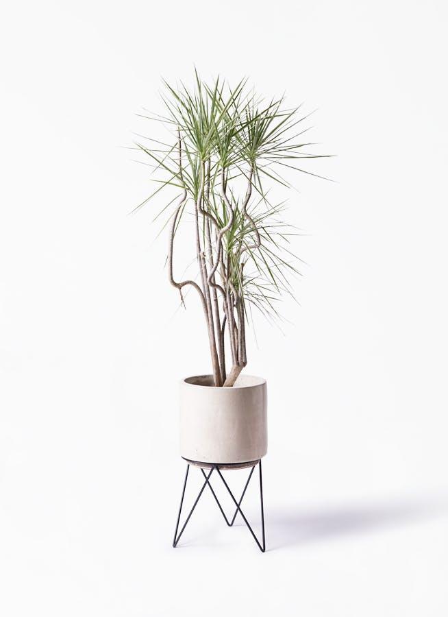 観葉植物 コンシンネ ホワイポリー 8号 曲り ビトロ エンデカ クリーム アイアンポットスタンド ブラック 付き