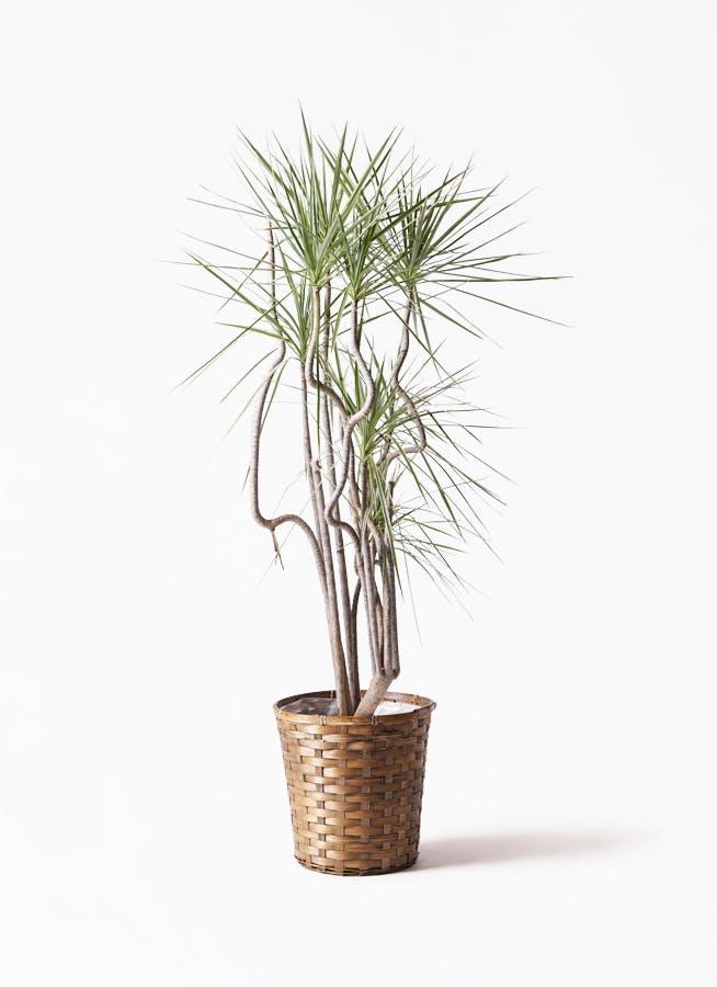 観葉植物 コンシンネ ホワイポリー 8号 曲り 竹バスケット 付き