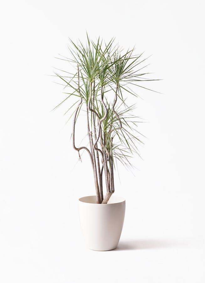 観葉植物 コンシンネ ホワイポリー 8号 曲り ラスターポット 付き