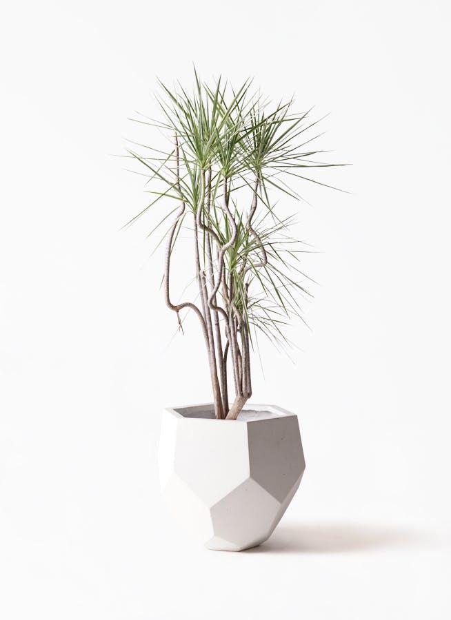 観葉植物 コンシンネ ホワイポリー 8号 曲り ポリゴヘクサ 白 付き