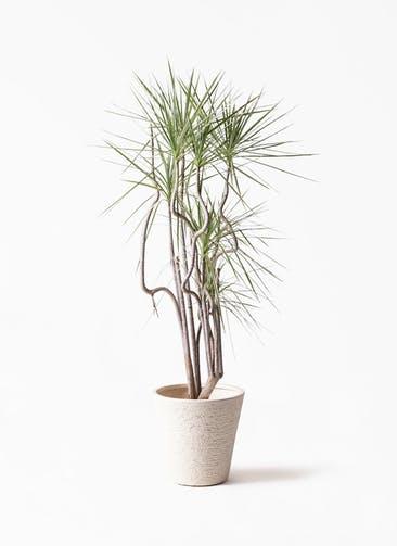 観葉植物 コンシンネ ホワイポリー 8号 曲り ビアスソリッド 白 付き