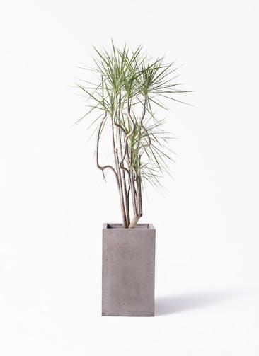 観葉植物 コンシンネ ホワイポリー 8号 曲り セドナロング グレイ 付き
