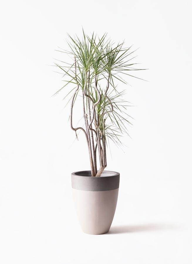 観葉植物 コンシンネ ホワイポリー 8号 曲り ファイバーストーンカプリ サンディホワイト 付き