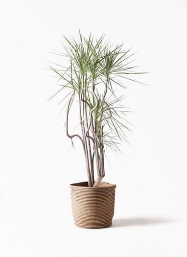 観葉植物 コンシンネ ホワイポリー 8号 曲り リブバスケットNatural 付き