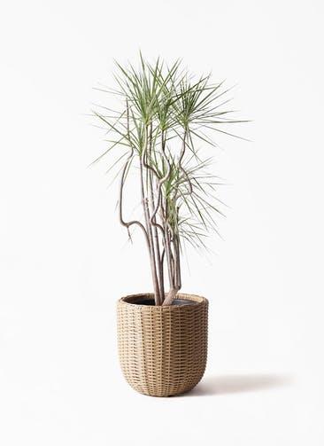 観葉植物 コンシンネ ホワイポリー 8号 曲り ウィッカーポットエッグ ベージュ 付き