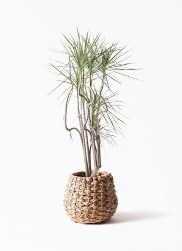 観葉植物 コンシンネ ホワイポリー 8号 曲り ラッシュバスケット Natural 付き