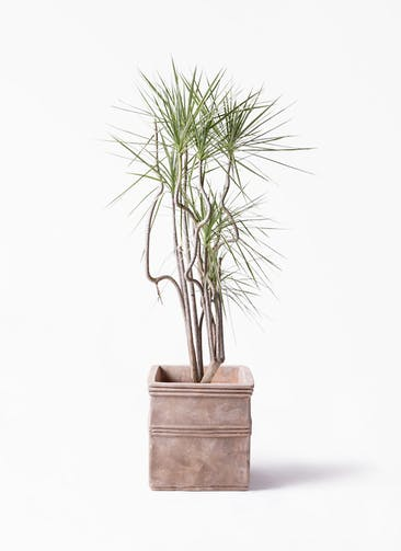 観葉植物 コンシンネ ホワイポリー 8号 曲り テラアストラ カペラキュビ 赤茶色 付き