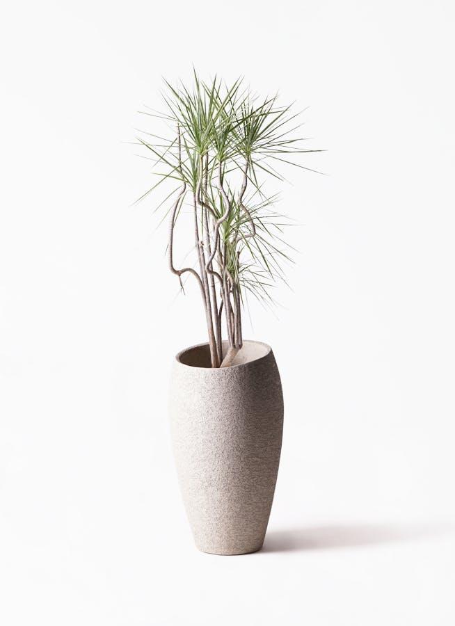 観葉植物 コンシンネ ホワイポリー 8号 曲り エコストーントールタイプ Light Gray 付き