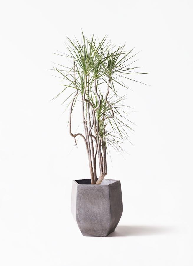 観葉植物 コンシンネ ホワイポリー 8号 曲り ファイバークレイ Gray 付き