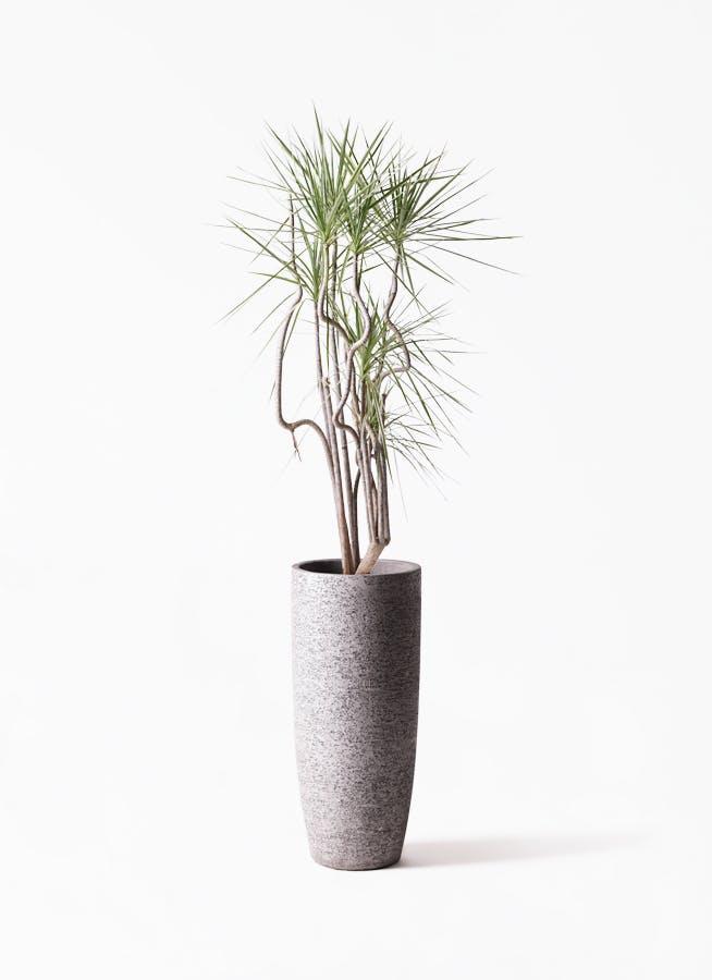 観葉植物 コンシンネ ホワイポリー 8号 曲り エコストーントールタイプ Gray 付き