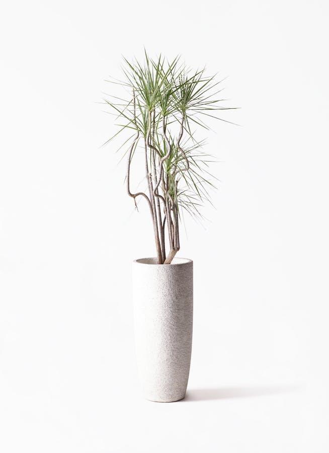 観葉植物 コンシンネ ホワイポリー 8号 曲り エコストーントールタイプ white 付き
