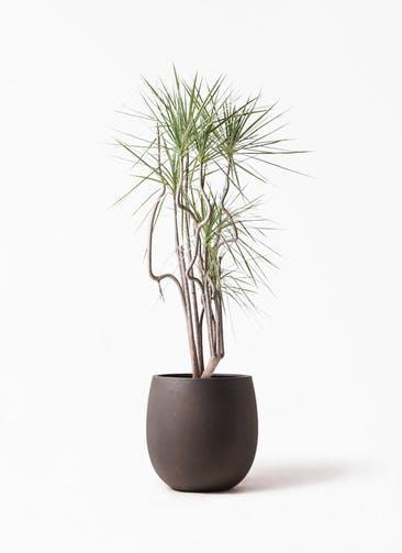 観葉植物 コンシンネ ホワイポリー 8号 曲り テラニアス バルーン アンティークブラウン 付き
