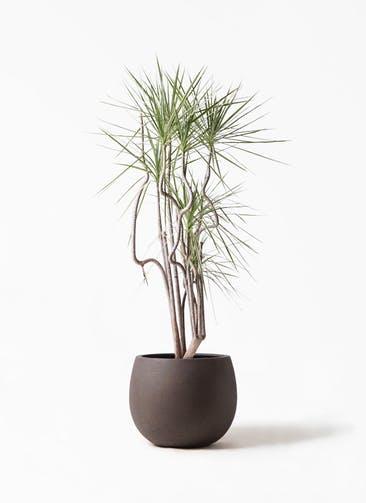 観葉植物 コンシンネ ホワイポリー 8号 曲り テラニアス ローバルーン アンティークブラウン 付き