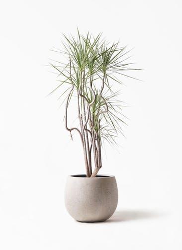 観葉植物 コンシンネ ホワイポリー 8号 曲り テラニアス ローバルーン アンティークホワイト 付き