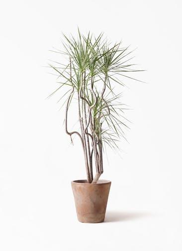 観葉植物 コンシンネ ホワイポリー 8号 曲り ルーガ アンティコ ソリッド 付き