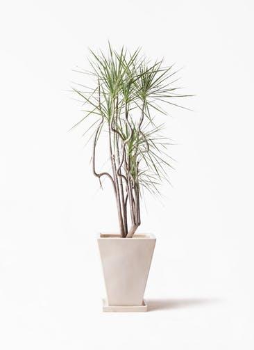 観葉植物 コンシンネ ホワイポリー 8号 曲り スクエアハット 白 付き