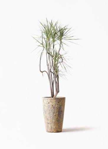 観葉植物 コンシンネ ホワイポリー 8号 曲り アトランティス クルーシブル 付き