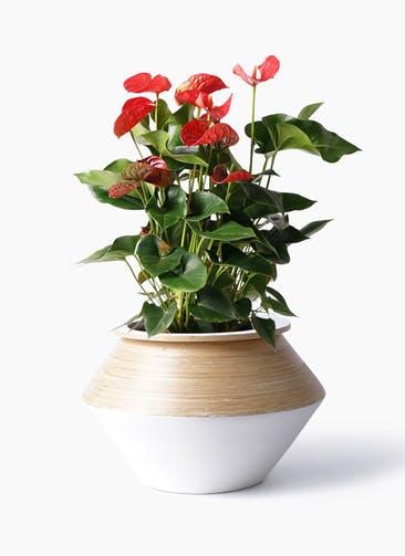 観葉植物 アンスリウム 8号 ダコタ アルマジャー 白 付き
