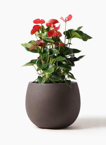 観葉植物 アンスリウム 8号 ダコタ テラニアス ローバルーン アンティークブラウン 付き