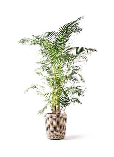 観葉植物 アレカヤシ 10号 モンデリック ラタン 付き