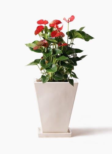 観葉植物 アンスリウム 8号 ダコタ スクエアハット 白 付き