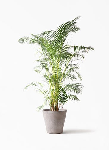 観葉植物 アレカヤシ 10号 アートストーン ラウンド グレー 付き