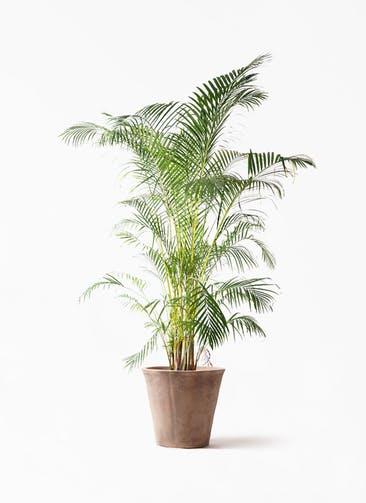 観葉植物 アレカヤシ 10号 ルーガ アンティコ ソリッド 付き