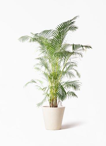 観葉植物 アレカヤシ 10号 フォリオソリッド クリーム 付き
