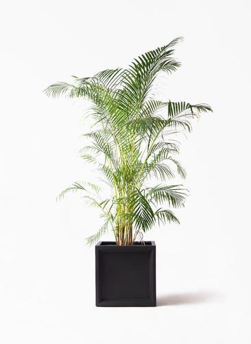 観葉植物 アレカヤシ 10号 ブリティッシュキューブ 付き