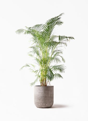 観葉植物 アレカヤシ 10号 エルバ 白 付き