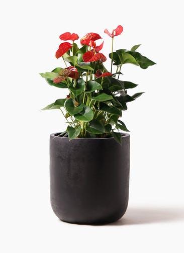 観葉植物 アンスリウム 8号 ダコタ エルバ 黒 付き