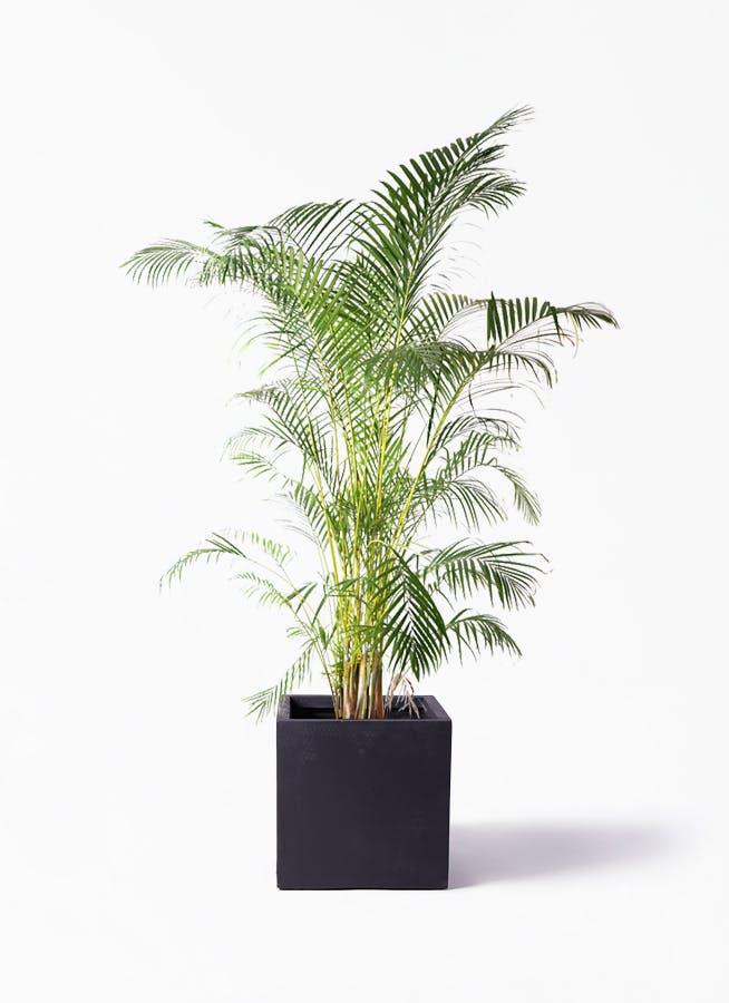 観葉植物 アレカヤシ 10号 ベータ キューブプランター 黒 付き