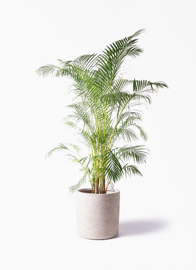 観葉植物 アレカヤシ 10号 サンディ シリンダー 白 付き
