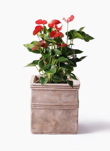 観葉植物 アンスリウム 8号 ダコタ テラアストラ カペラキュビ 赤茶色 付き