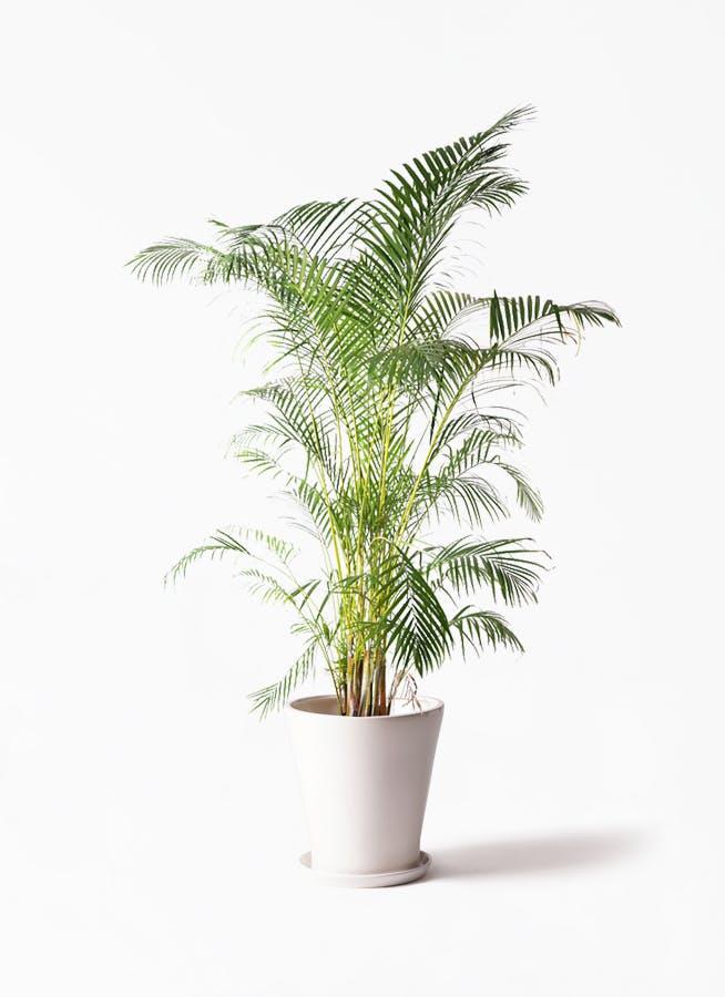 観葉植物 アレカヤシ 10号 サブリナ 白 付き