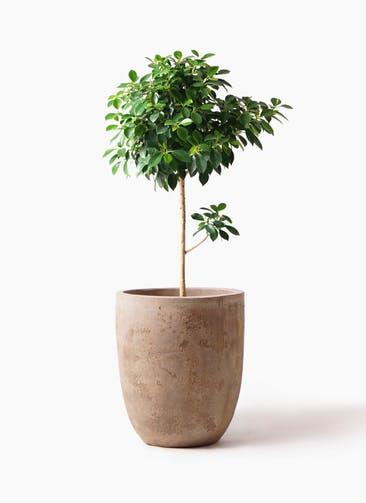 観葉植物 フィカス ナナ 7号 ノーマル ルーガ アンティコ アルトエッグ 付き