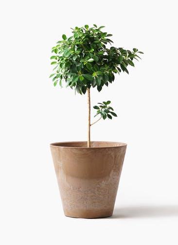 観葉植物 フィカス ナナ 7号 ノーマル アートストーン ラウンド ベージュ 付き
