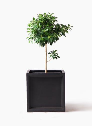 観葉植物 フィカス ナナ 7号 ノーマル ブリティッシュキューブ 付き