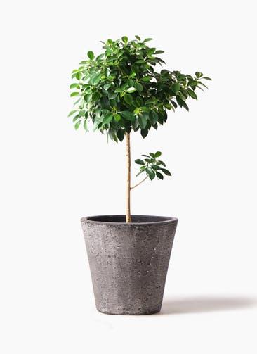 観葉植物 フィカス ナナ 7号 ノーマル フォリオソリッド ブラックウォッシュ 付き
