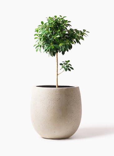 観葉植物 フィカス ナナ 7号 ノーマル テラニアス バルーン アンティークホワイト 付き