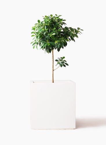 観葉植物 フィカス ナナ 7号 ノーマル バスク キューブ 付き