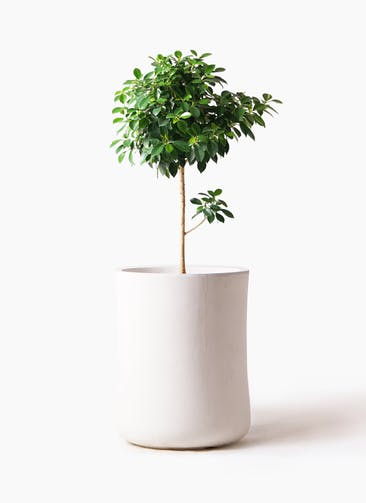 観葉植物 フィカス ナナ 7号 ノーマル バスク ミドル ホワイト 付き