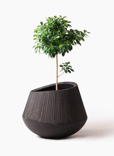 観葉植物 フィカス ナナ 7号 ノーマル エディラウンド 黒 付き