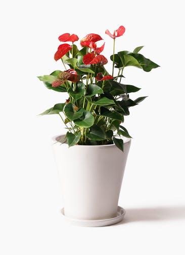 観葉植物 アンスリウム 8号 ダコタ サブリナ 白 付き