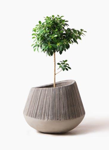 観葉植物 フィカス ナナ 7号 ノーマル エディラウンド グレイ 付き