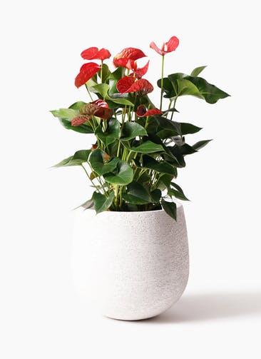 観葉植物 アンスリウム 8号 ダコタ エコストーンwhite 付き