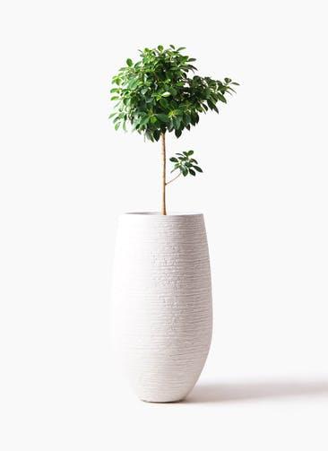 観葉植物 フィカス ナナ 7号 ノーマル フォンティーヌトール 白 付き