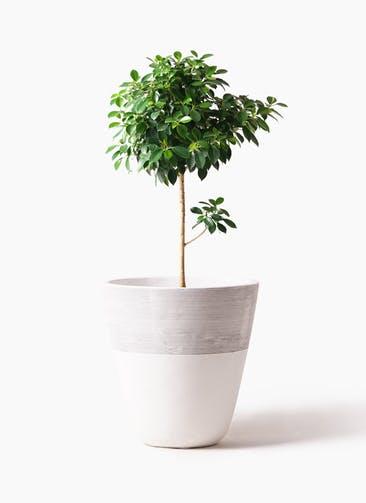 観葉植物 フィカス ナナ 7号 ノーマル ジュピター 白 付き